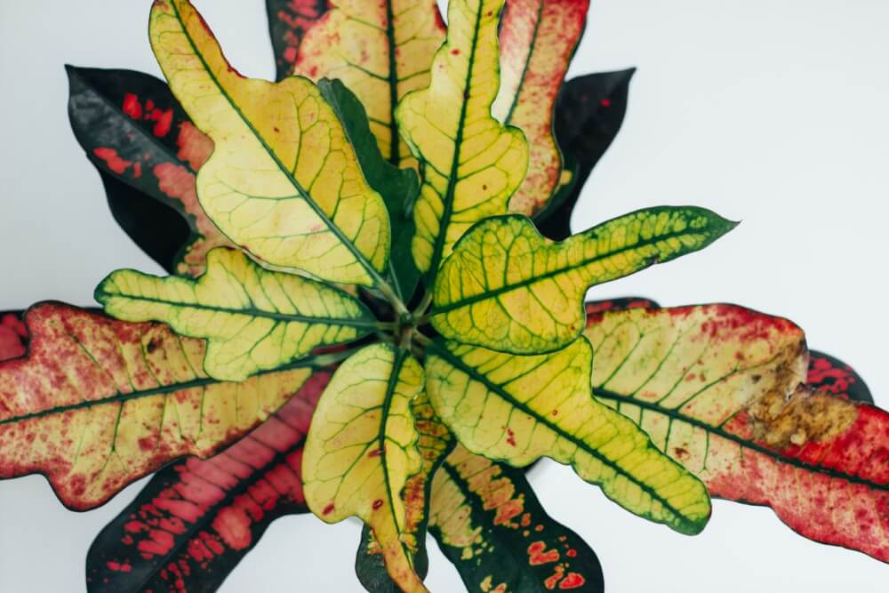 Oakleaf Croton (Codiaeum variegatum 'Oakleaf')
