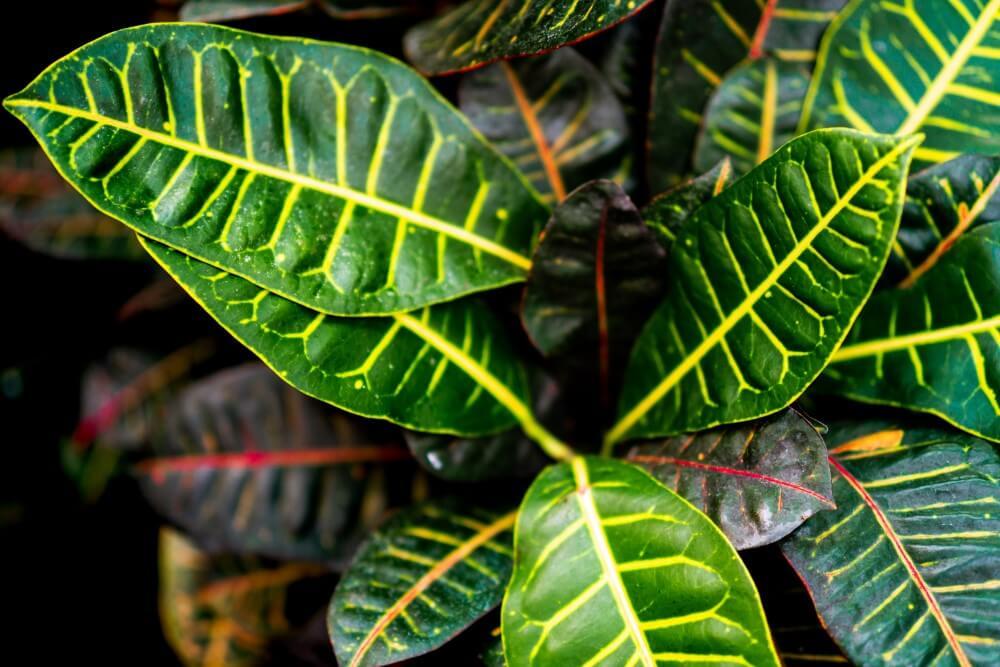 Petra Croton (Codiaeum variegatum 'Petra')
