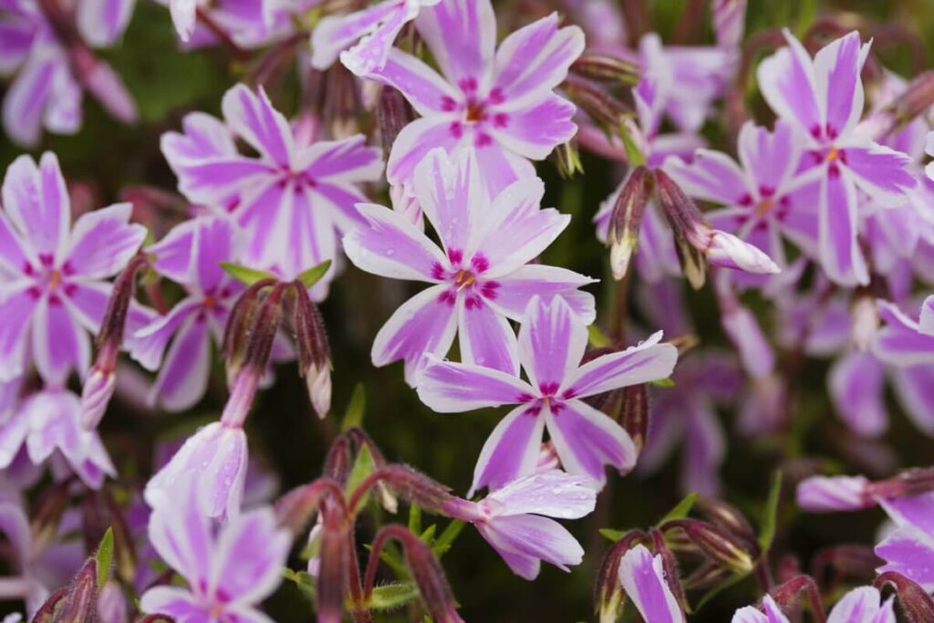 Phlox Flowers Origin Stories in Myths and Folklore