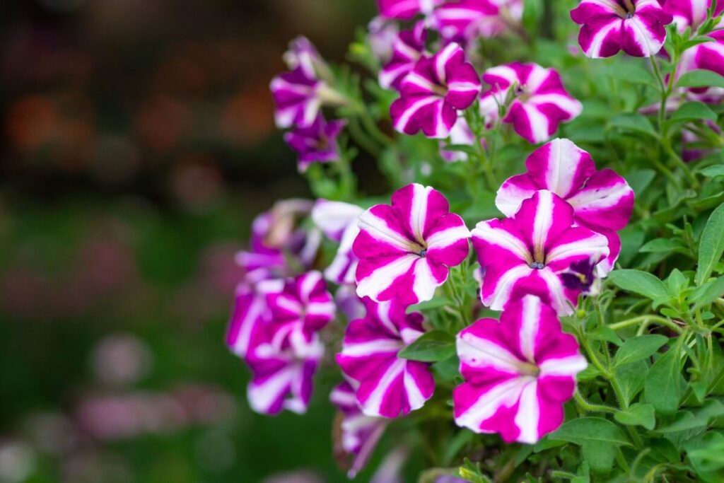 Phlox Flowers in Spirituality and Religion