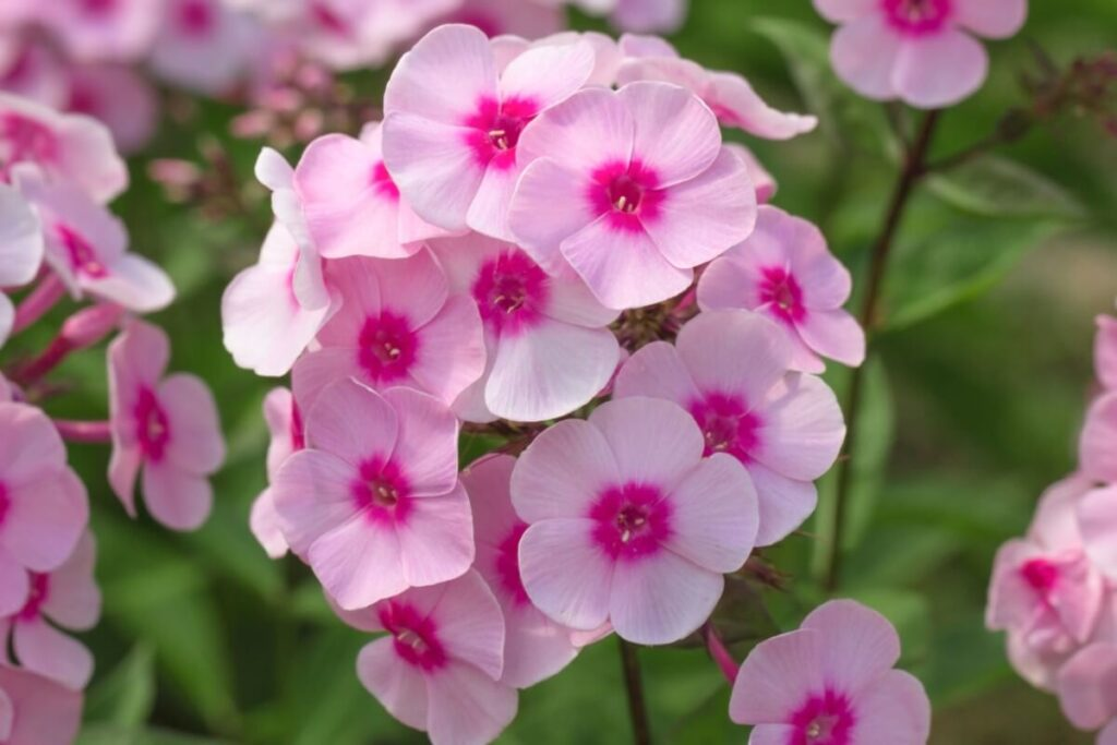 Phlox Flowers in the Middle Ages