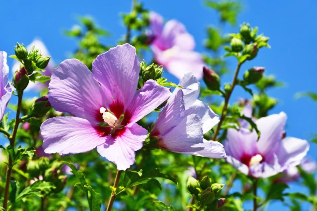 Pink Hibiscus Light Preferences