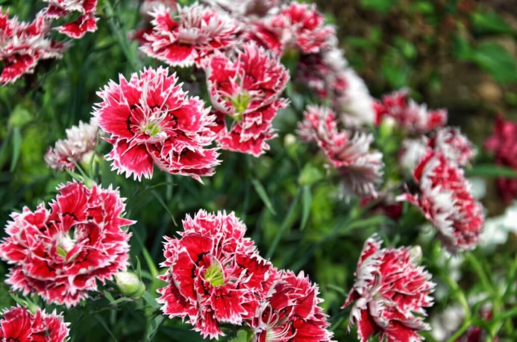 Popular Dianthus Types, Species, and Cultivars