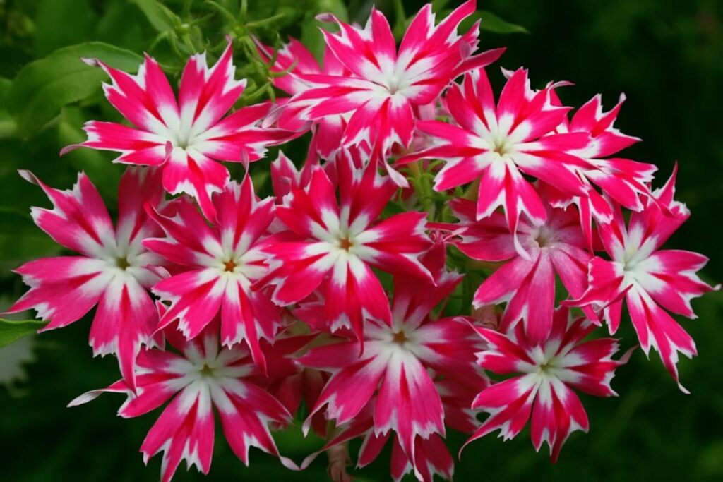 Popular Types of Phlox Flowers