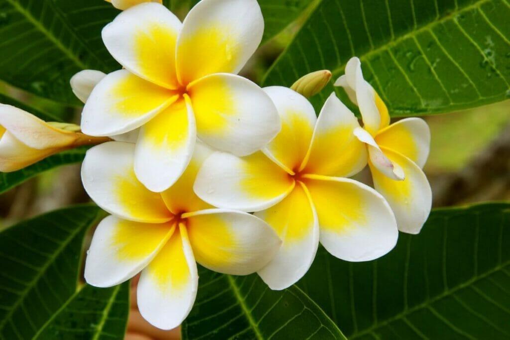 Popular Types of Plumeria Flowers