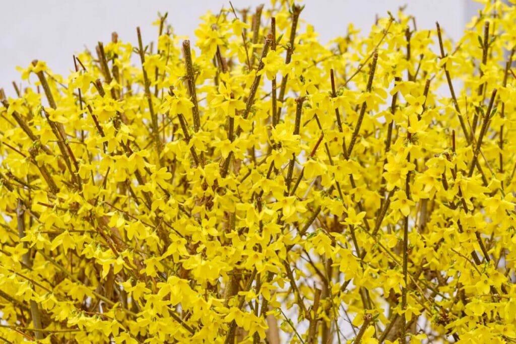 Pruning Forsythia Lynwood Gold