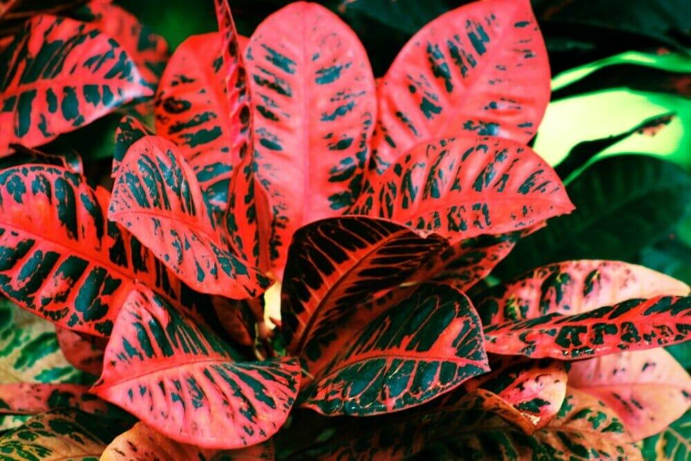 Red Iceton Croton (Codiaeum variegatum 'Red Iceton')