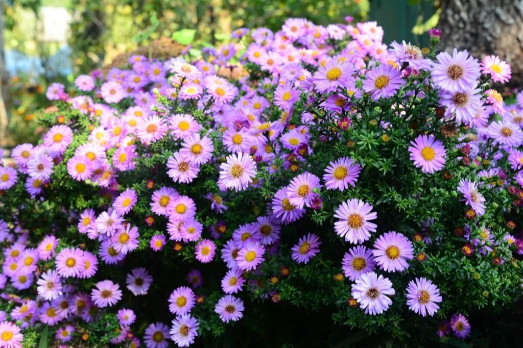 September Birth Flowers and Their Meanings