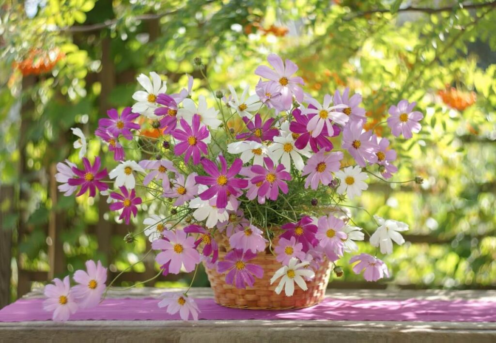 Suitable Gifting Occasions for Cosmos Flowers