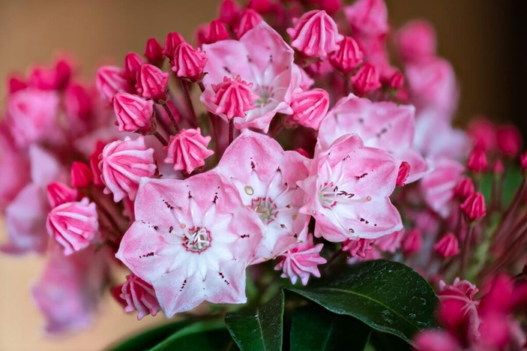 Suitable Gifting Occasions for Kalmia Flowers
