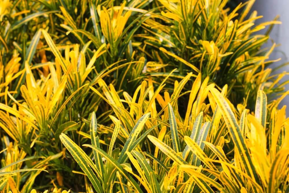 Sunny Star Croton (Codiaeum variegatum 'Sunny Star')