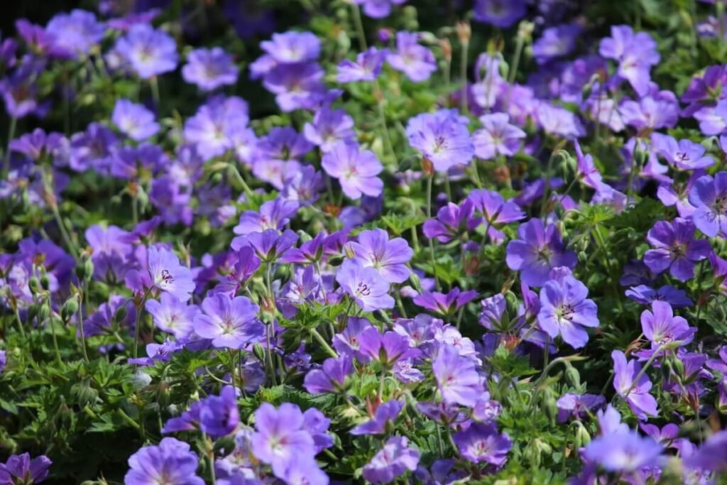 The Best Time of Year to Plant a Geranium Orion