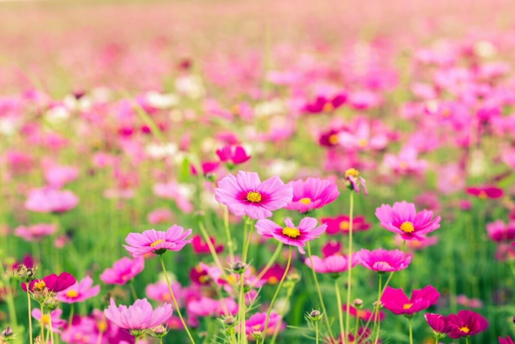 The Meaning, Symbolism, & Cultural Significance of Cosmos Flowers