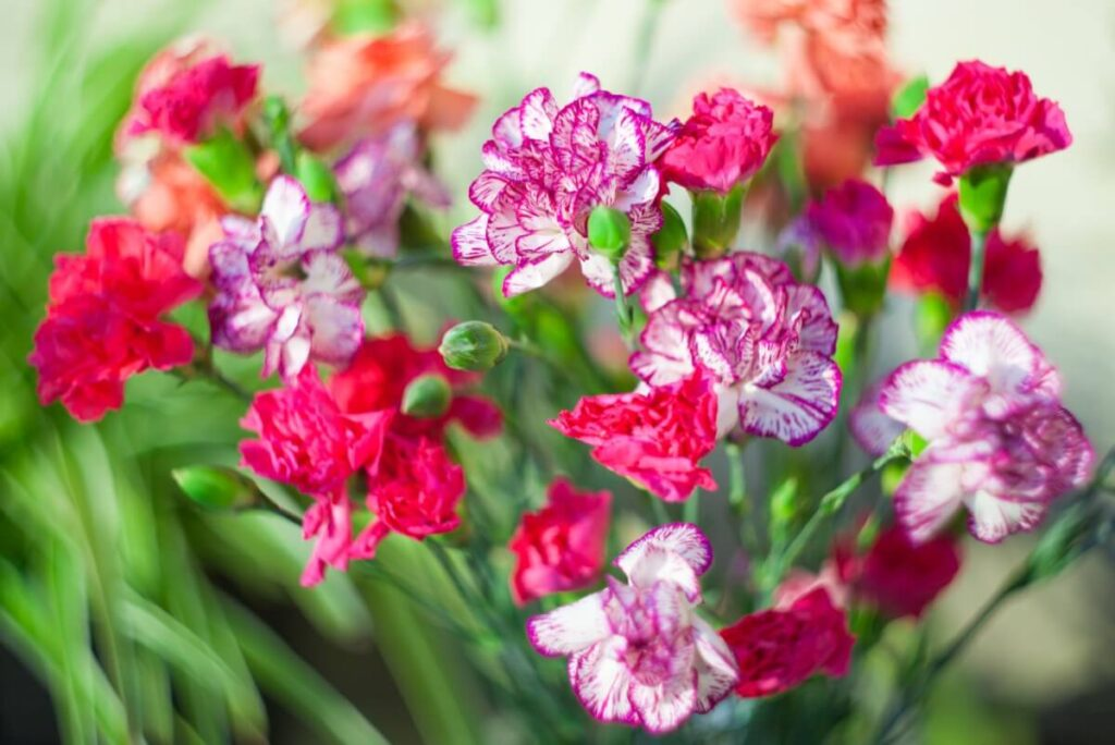 The Meaning, Symbolism, and Cultural Significance of Dianthus Flowers
