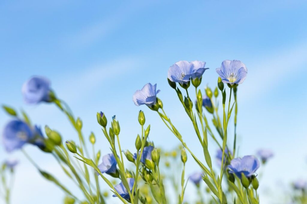 The Meaning, Symbolism, and Cultural Significance of Flax Flowers