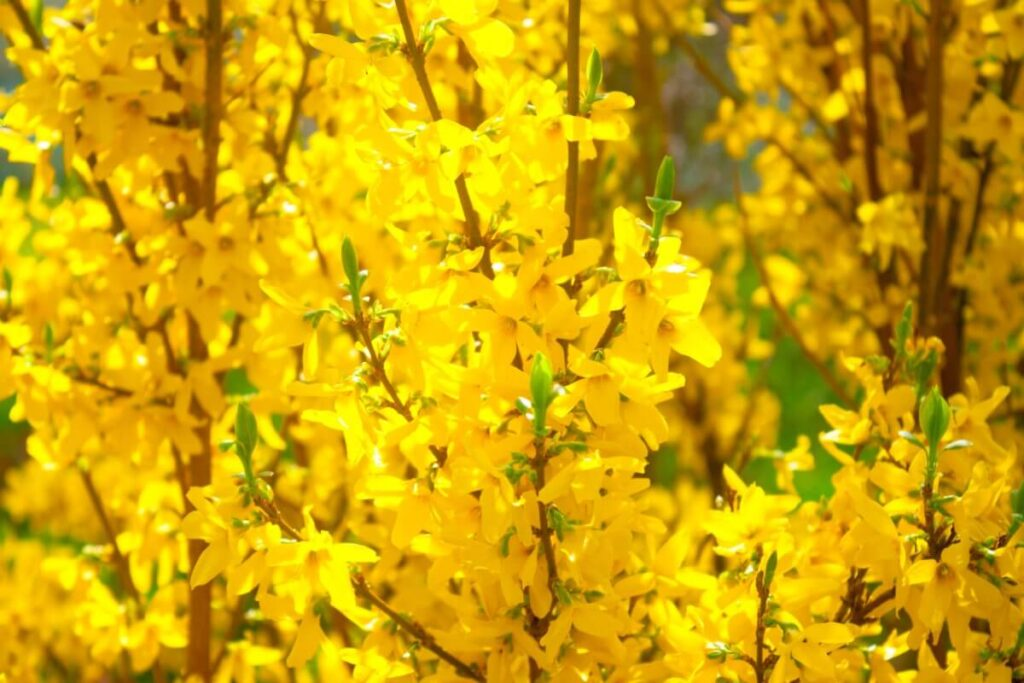 The Meaning, Symbolism, and Cultural Significance of Forsythia Flowers