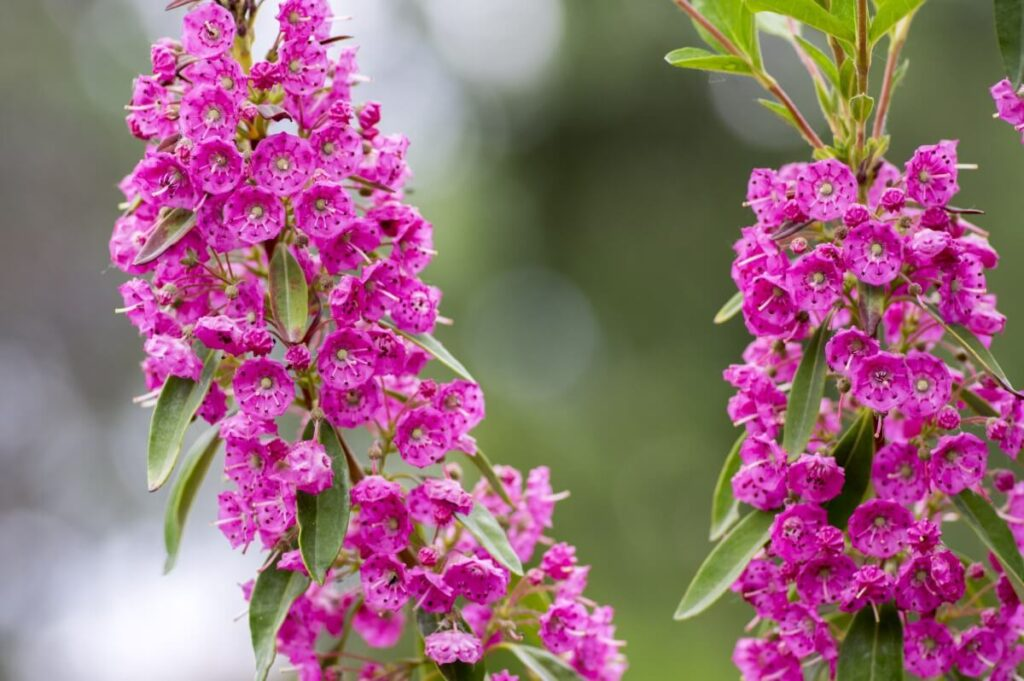 The Meaning, Symbolism, and Cultural Significance of Kalmia Flowers