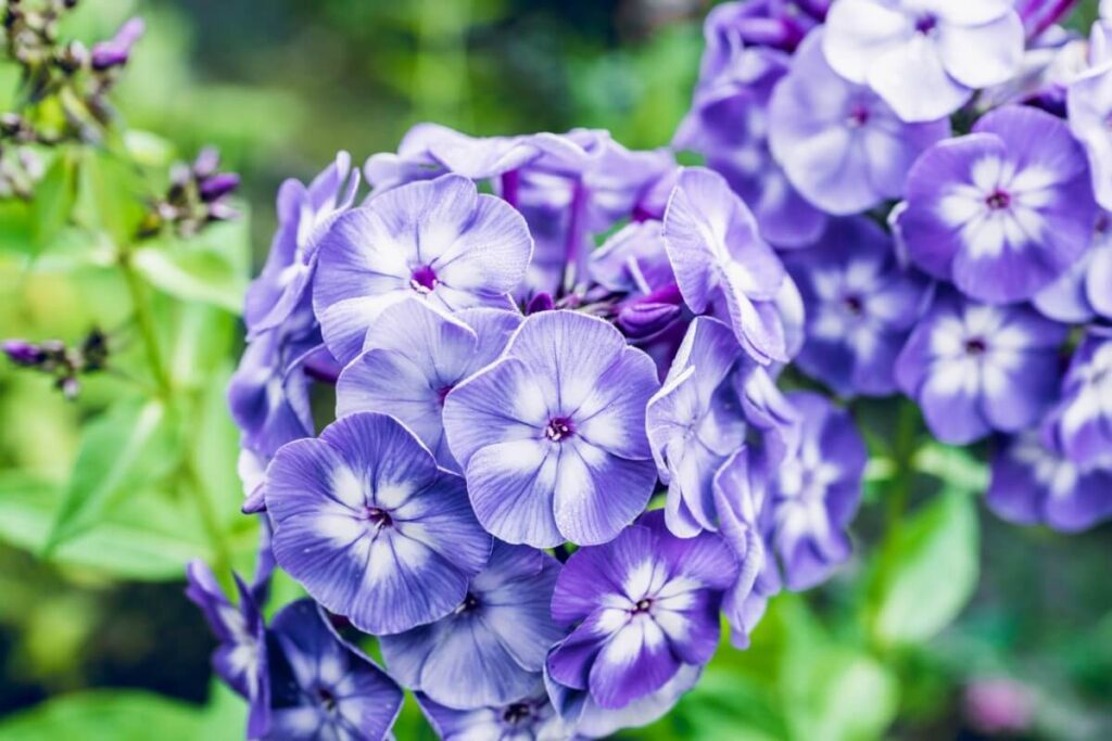 The Meaning, Symbolism, and Cultural Significance of Phlox Flowers