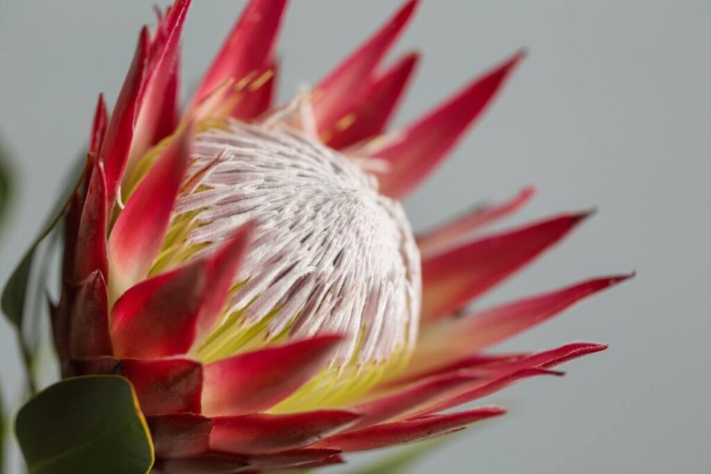 The Meaning, Symbolism, and Cultural Significance of Protea Flowers