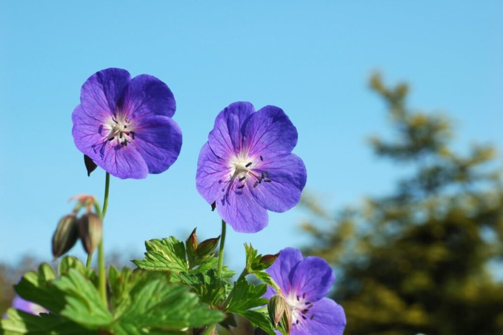 The Most Suitable USDA Growing Zones for Geranium Rozanne