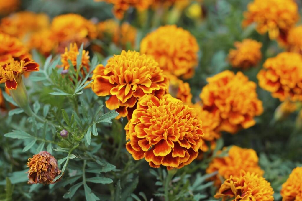 The Official Birth Flowers for October
