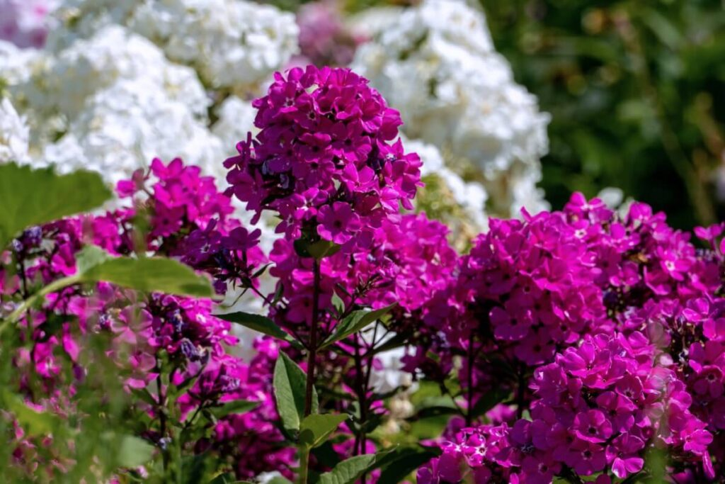To What Regions Are Phlox Flowers Native?