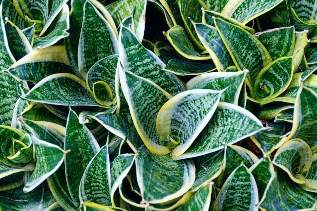 Twisted Sister (Sansevieria trifasciata 'Twist')