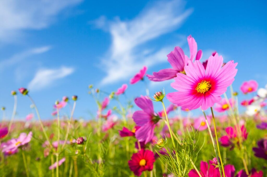 Ultimate Guide to Cosmos Flower Meaning & Symbolism