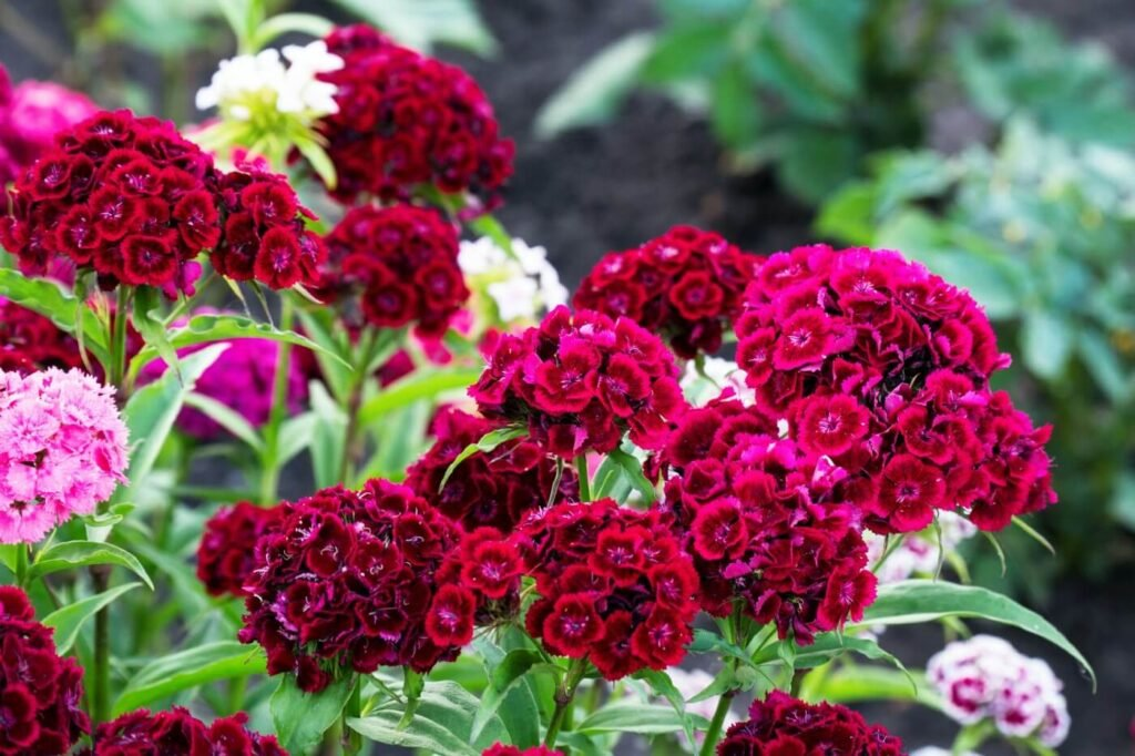 Ultimate Guide to Dianthus Flower Meaning and Symbolism