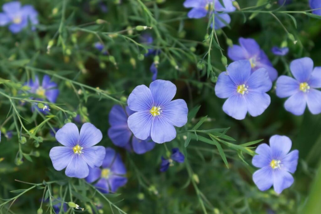 Ultimate Guide to Flax Flower Meaning and Symbolism