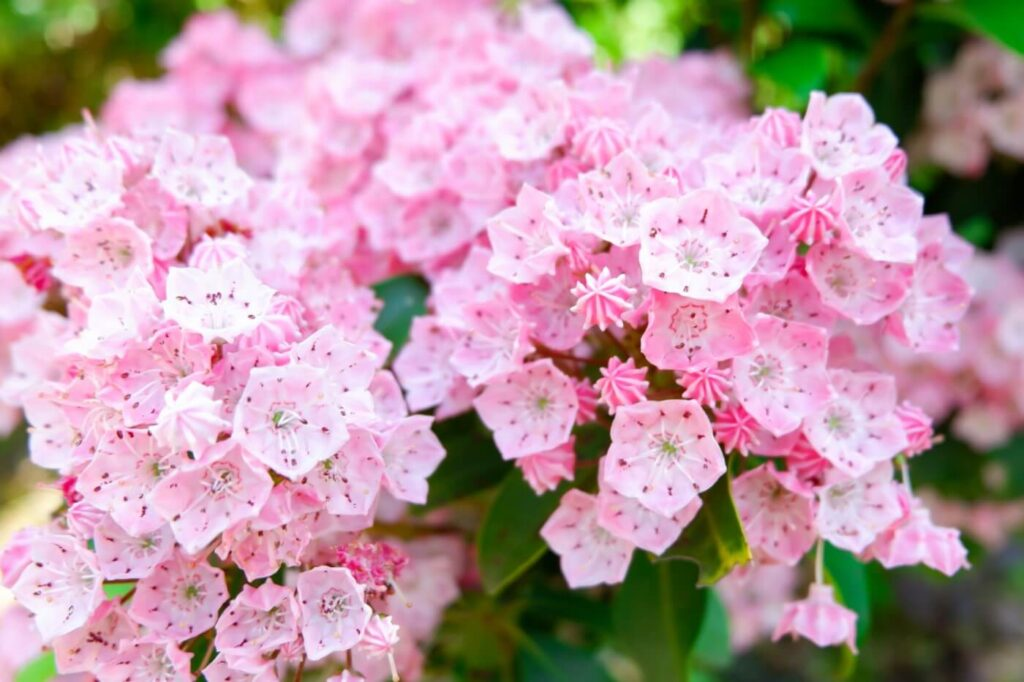 Ultimate Guide to Kalmia Flower Meaning