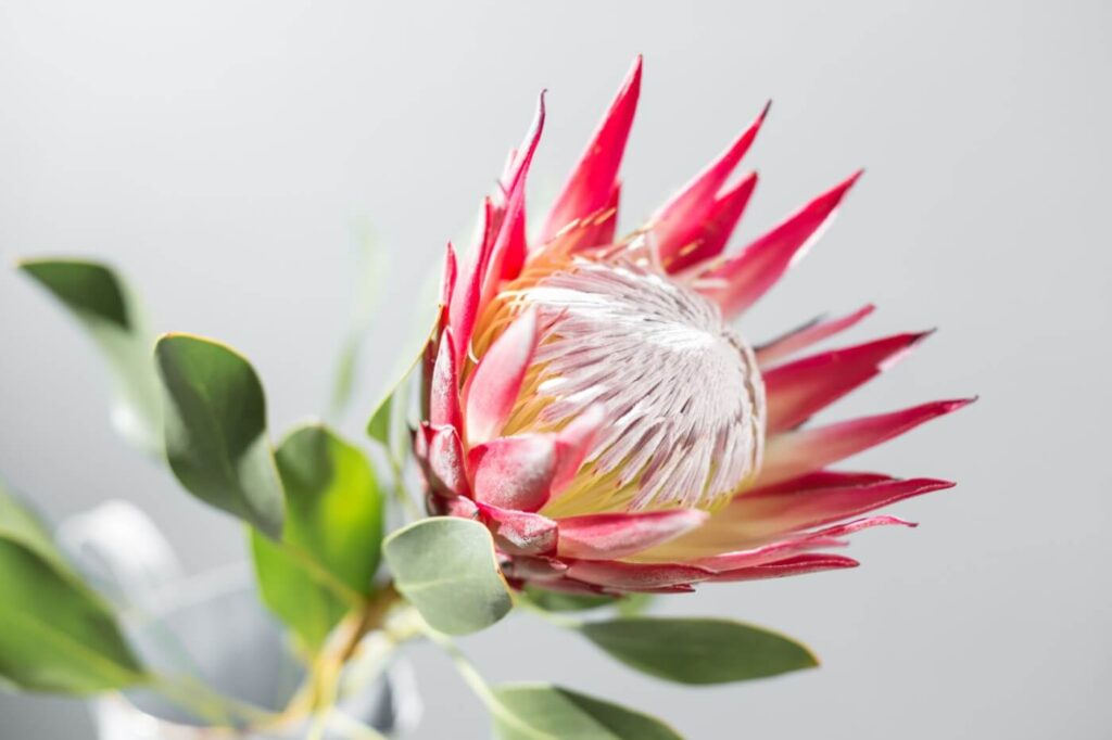 Ultimate Guide to Protea Flower Meaning (Sugarbushes)