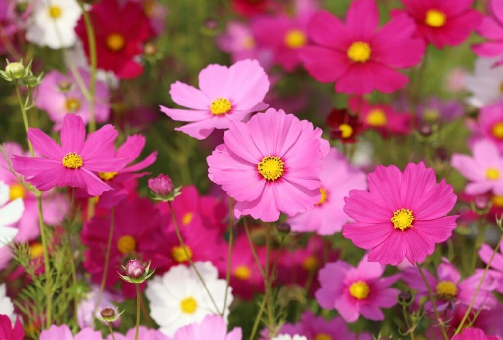 Uses & Benefits of Cosmos Flowers