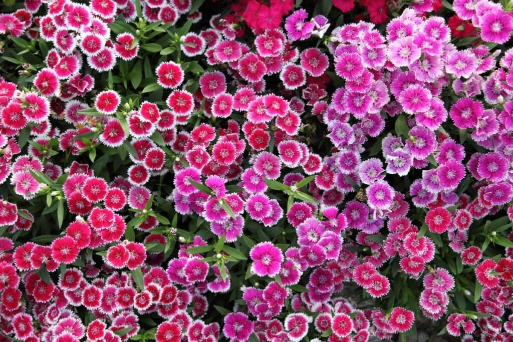 Uses & Benefits of Dianthus Flowers