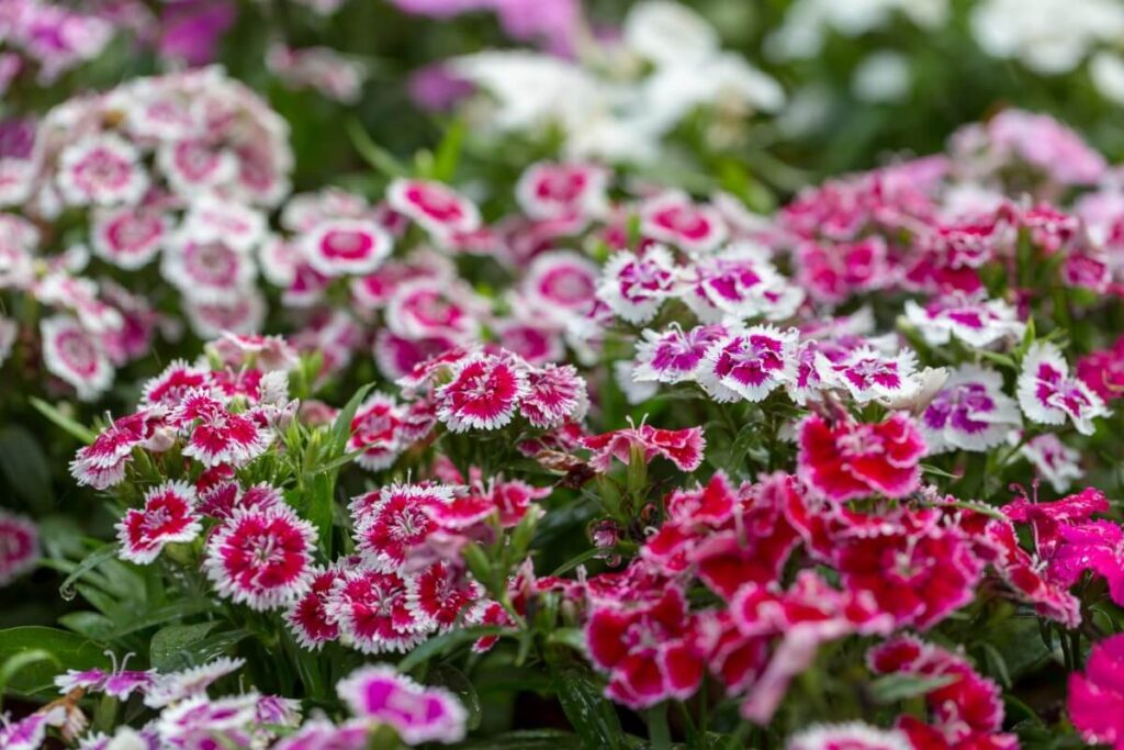 Uses & Benefits of Dianthus chinensis