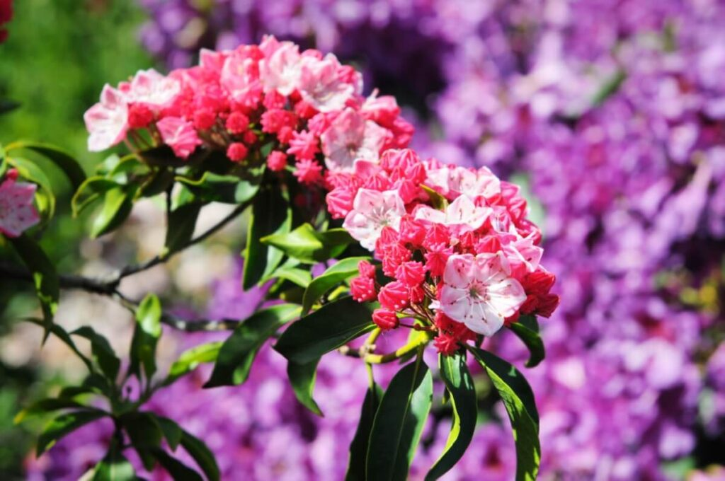 Uses and Benefits of Kalmia Flowers