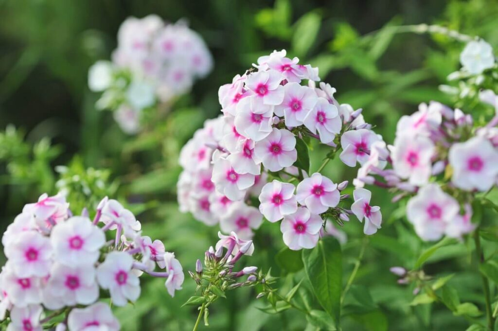 Uses and Benefits of Phlox Flowers