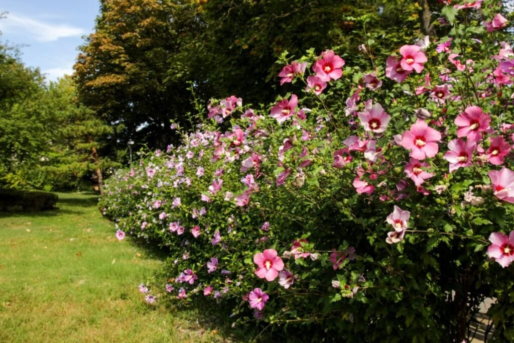 What Are the Best Locations to Plant Pink Hibiscus?