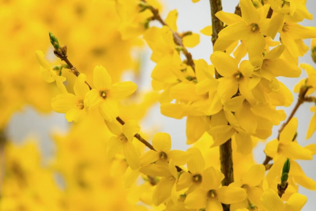 What Regions are Forsythia Flowers Native to?