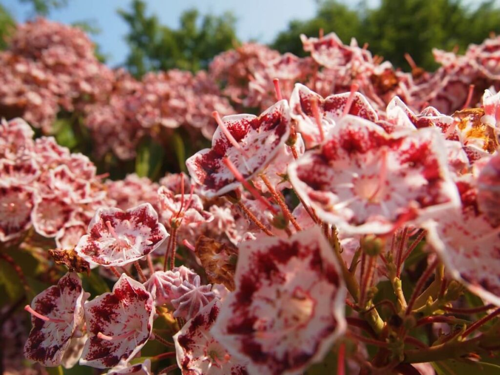 What Regions are Kalmia Flowers Native to?