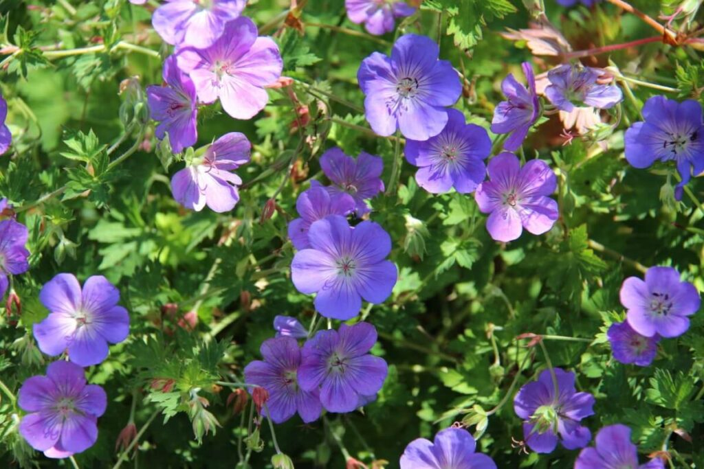 What are the Best Times of Year to Plant Geranium Rozanne?
