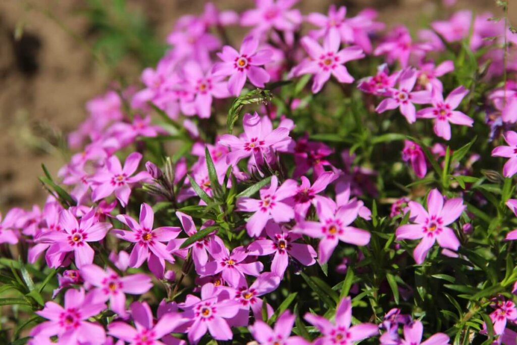 When Does Creeping Phlox Bloom, and How Long Is the Flowering Season?