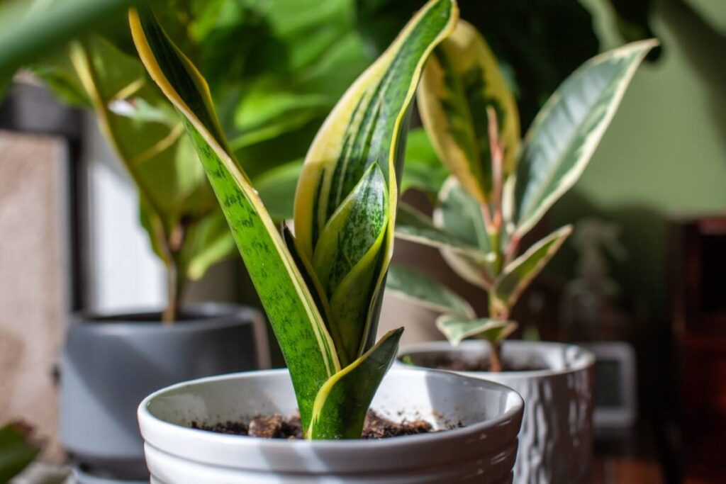 When and How to Prune a Snake Plant