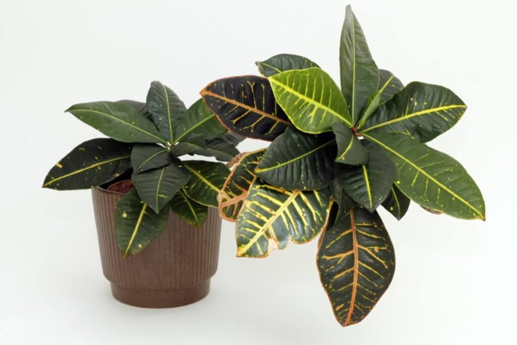 When and How to Repot a Croton Plant