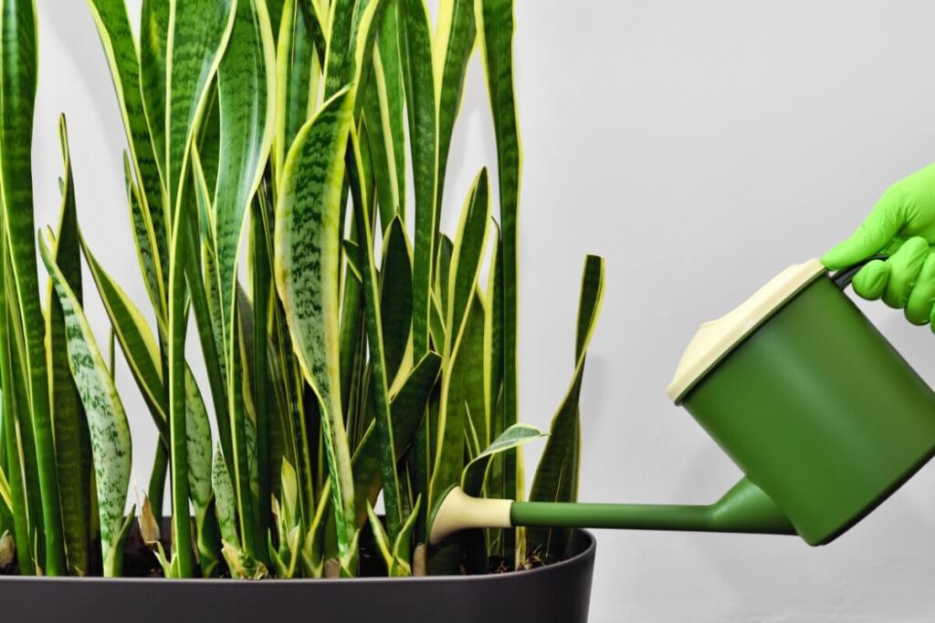 When and How to Water Snake Plants