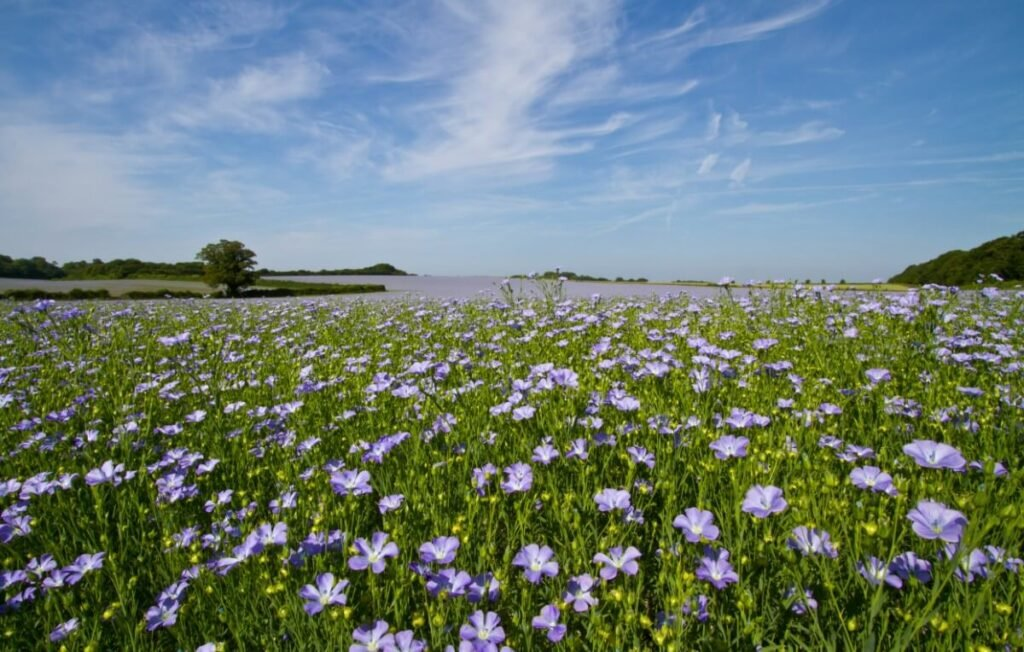 When are Flax Flowers in Season?