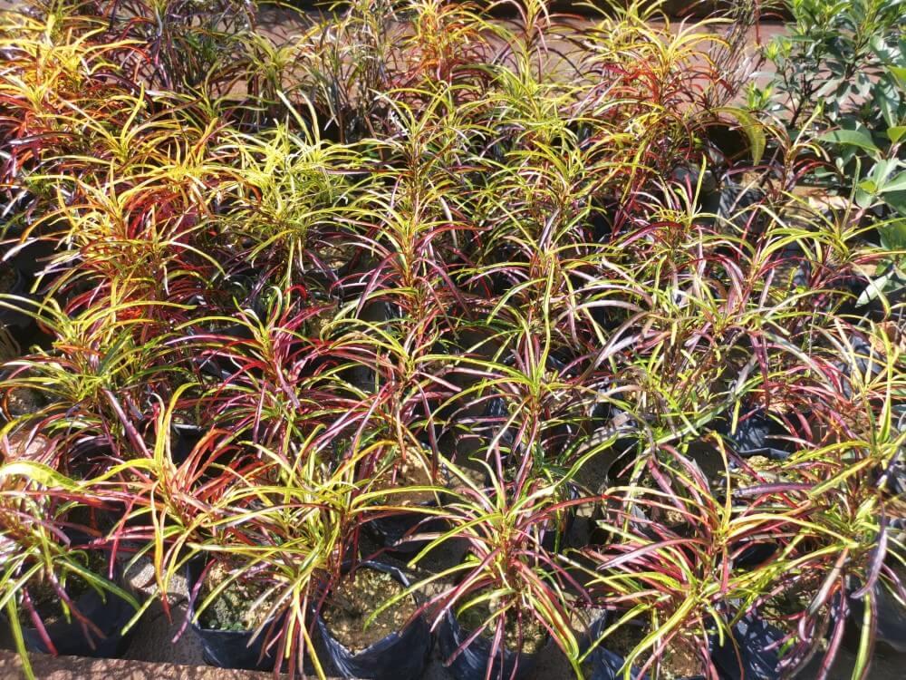 Zanzibar Croton (Codiaeum variegatum 'Zanzibar')