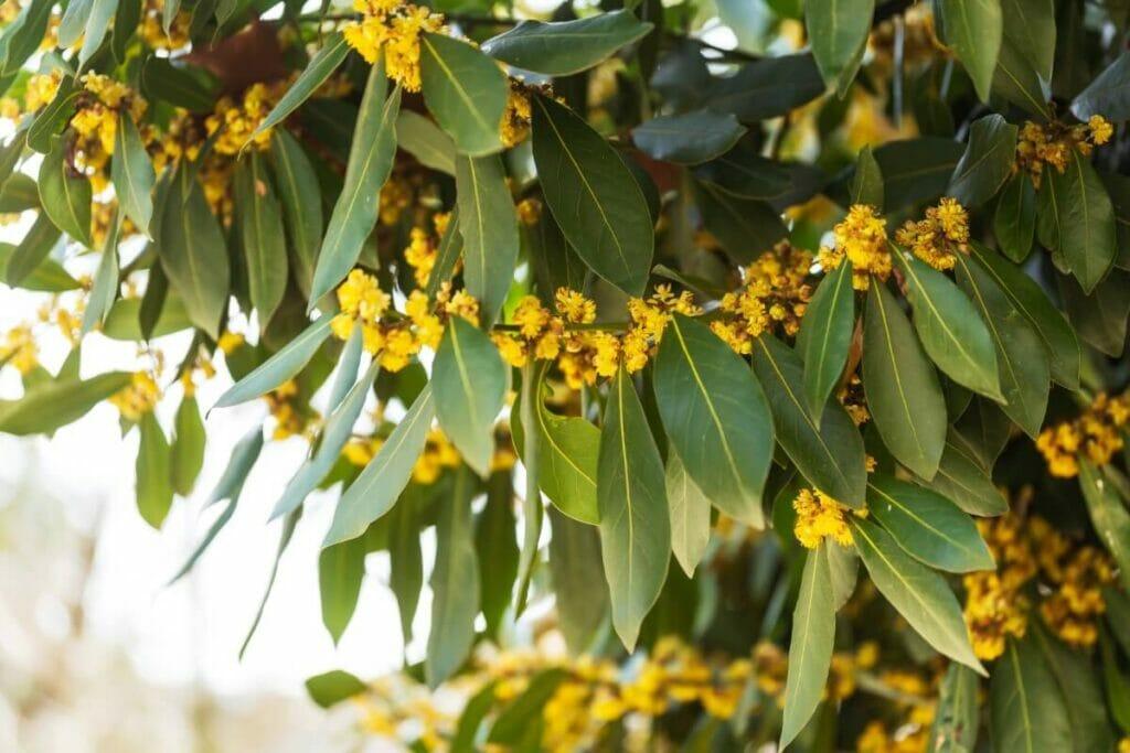 About Bay Laurel (Laurus nobilis)