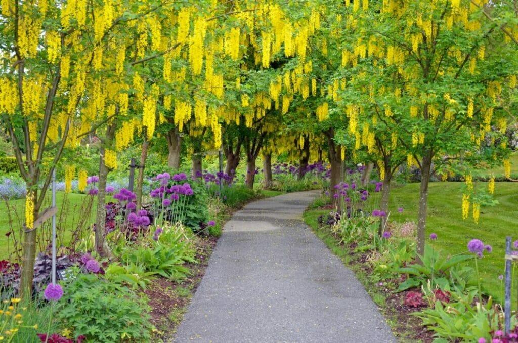 About Laburnum (Golden chain tree)