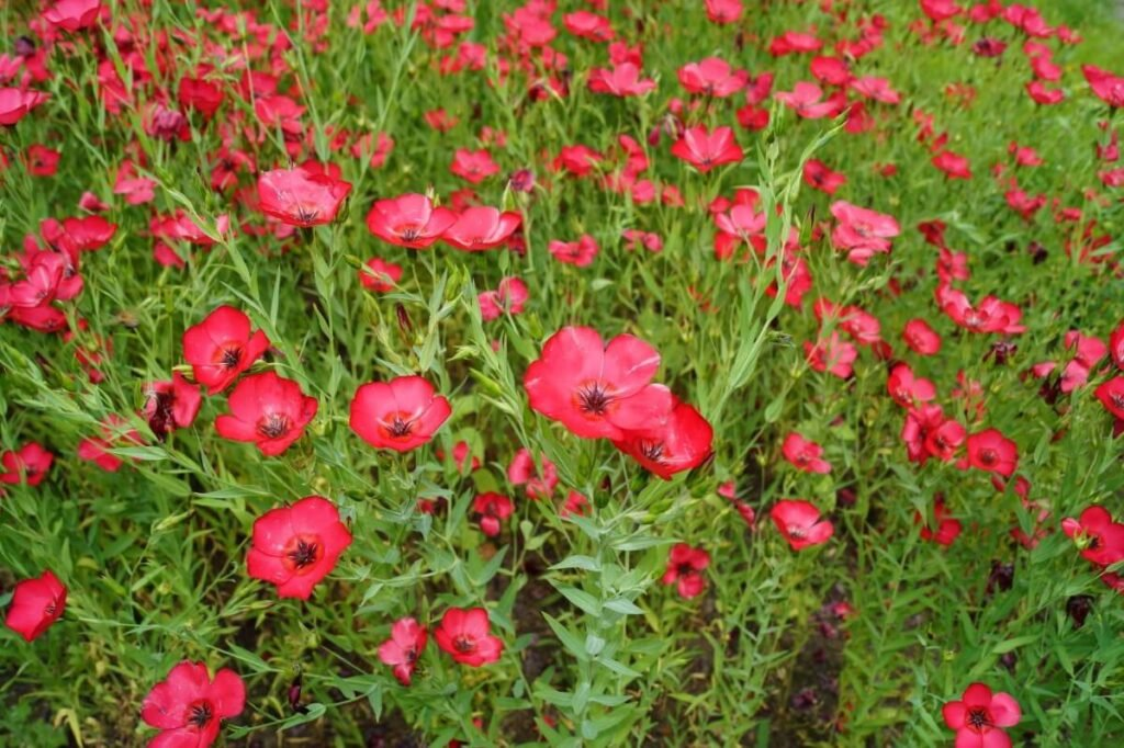 About Linum Grandiflorum (Red Flax)